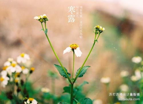 寒露——鸿雁来宾、雀攻大水为蛤、菊有黄花
