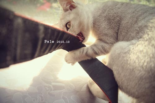 『苍白』美猫