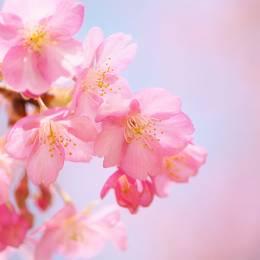 那些粉红色的日子