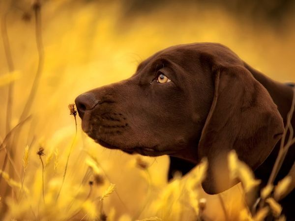 German Shorthaired Pointerhttp://photography.nationalgeographic.com/photography/photo-of-the-day/german-shorthaired-pointer/