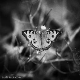 Tommy Cavarela 女孩的蝴蝶