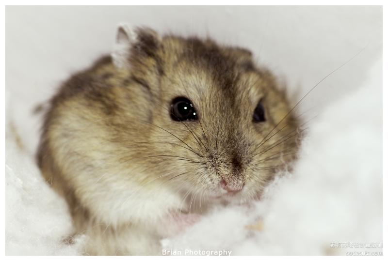 仓鼠nico的幸福生活