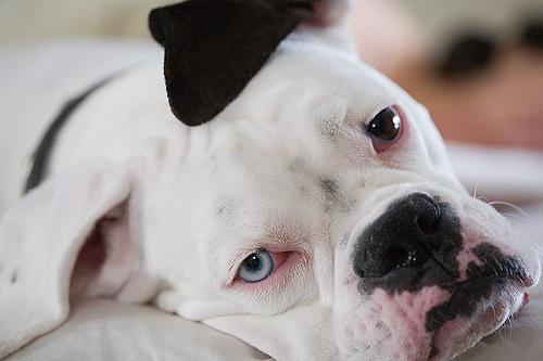 一只叫做Gus的狗