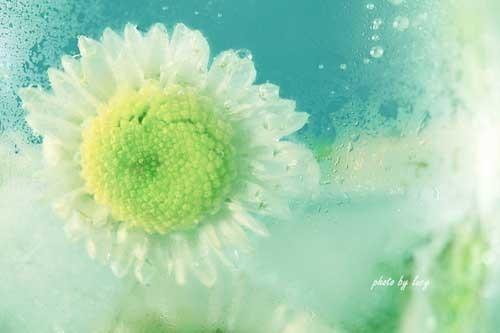 冰与菊花 摄影作品欣赏