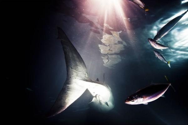 鲨鱼 图片摄影素材分享