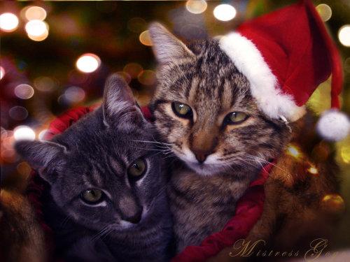 有一种猫咪,叫做圣诞帽子