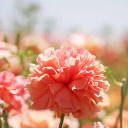 Ranunculus农场 色彩的花