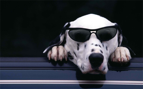 Cool Dog Wearing Glasses Wallpaper<br /> http://www.wallpaperhere.com/Animal/Dogs/Cool_Dog_wearing_glasses_83891