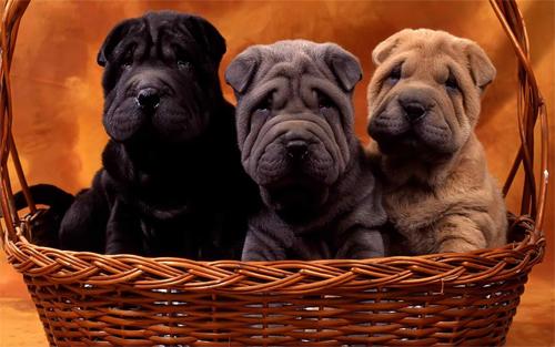 Cute Sharpei Dogs Wallpaper<br /> http://www.wallpaperhere.com/Animal/Dogs/Cute_sharpei_dogs_28067