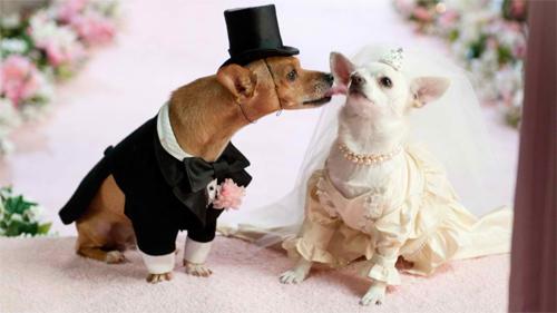 Dog Weds<br /> http://animals.desktopnexus.com/wallpaper/1096066/