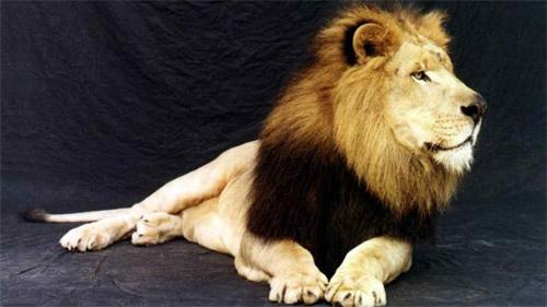 Lion<br /> http://animals.desktopnexus.com/wallpaper/422588/