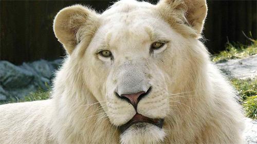 White-Lion<br /> http://animals.desktopnexus.com/wallpaper/296593/