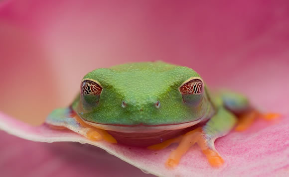 Christopher Schlaf<br /> http://1x.com/photo/50766/category/macro/latest-additions/red-eyed-tree-frog
