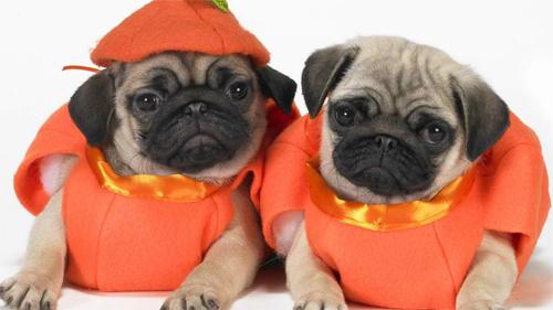 Scary Halloween Pugs<br /> http://animals.desktopnexus.com/wallpaper/628997/