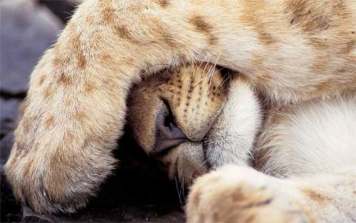 Sweet Sleeping Lion<br /> http://www.wallpaperhere.com/Sweet_sleeping_lion_70537