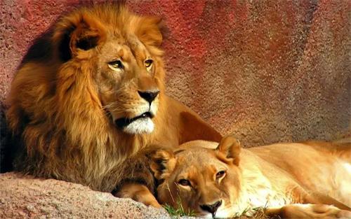 Lion Couple<br /> http://www.wallpaperhere.com/Lion_couple_71199
