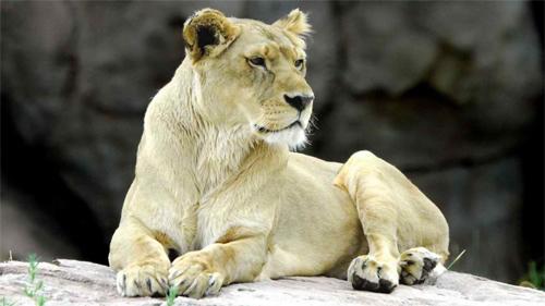 White Lion<br /> http://animals.desktopnexus.com/wallpaper/747972/
