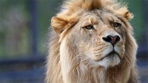 Lion<br /> http://animals.desktopnexus.com/wallpaper/956055/
