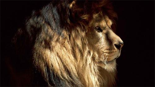 Pasha Lion<br /> http://animals.desktopnexus.com/wallpaper/483330/