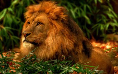 Lion<br /> http://www.wallpaperhere.com/Lion_69915