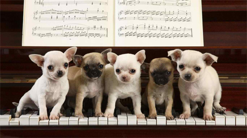 We Are Pianists Wallpaper<br /> http://www.wallpaperhere.com/Animal/Dogs/We_are_pianists_87180