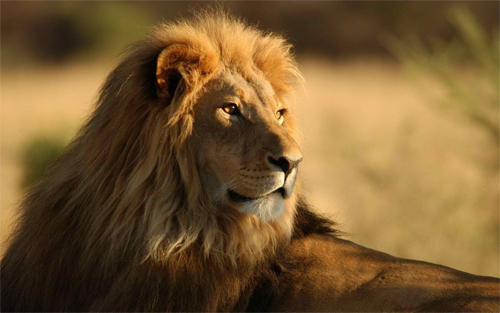 Leo the Lion<br /> http://www.wallpaperhere.com/Leo_the_Lion_24990
