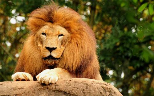 Lion King<br /> http://www.wallpaperhere.com/Lion_King_21244