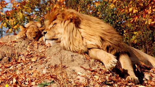 Lion<br /> http://animals.desktopnexus.com/wallpaper/963277/