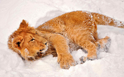 Lion in Snow<br /> http://www.wallpaperhere.com/Lion_in_Snow_94411
