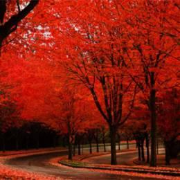 秋季枫叶红 桌面壁纸下载