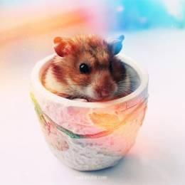可爱的仓鼠摄影集
