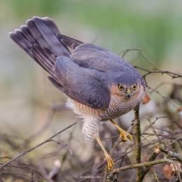 Tom Dean 鸟类摄影欣赏