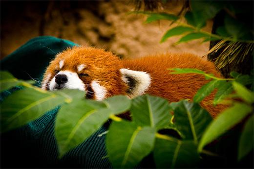 可爱的小熊猫摄影