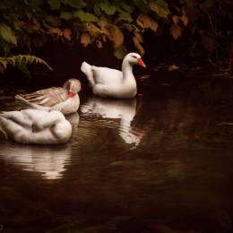 cally whitham 水中鸭