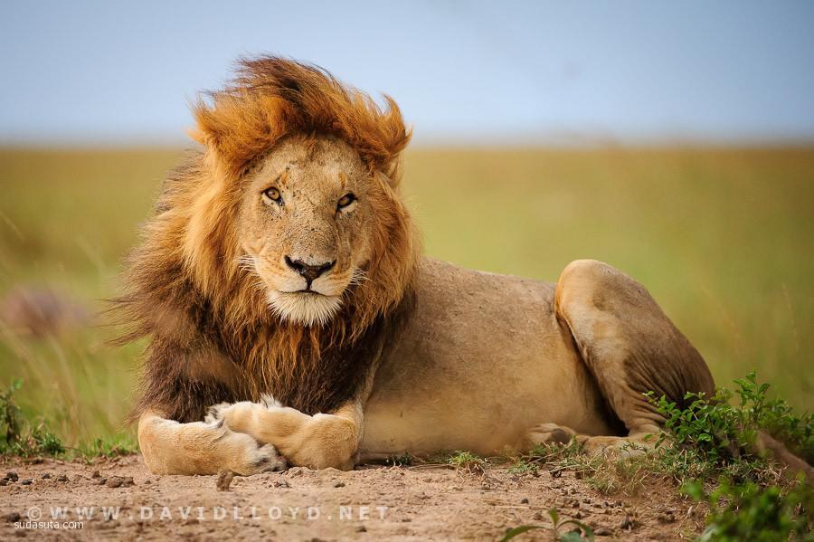 主题摄影 自然狮子王