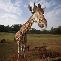 主题摄影 长颈鹿庄园