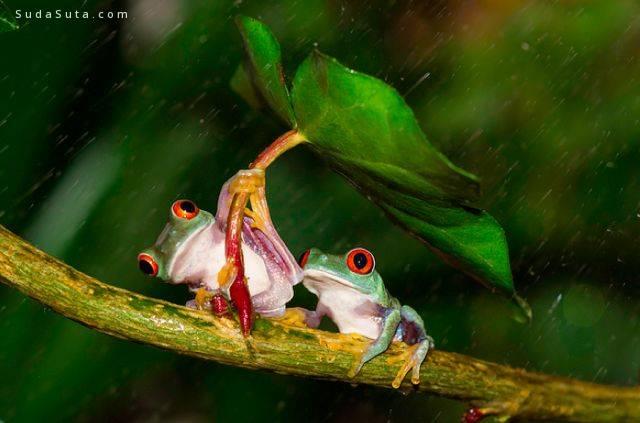 雨季和红眼睛树蛙 Kutub Uddin自然摄影欣赏