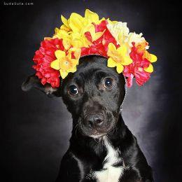 Guinnevere Shuster 狗狗爱臭美 动物肖像摄影欣赏