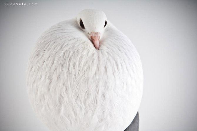 Richard Bailey 鸟类肖像摄影欣赏