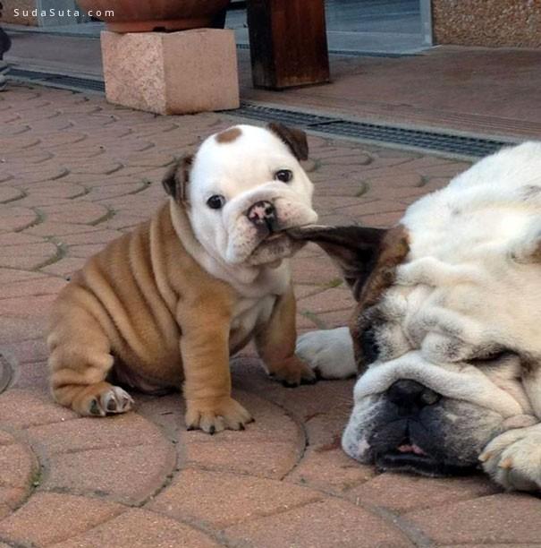 bulldog 激萌可爱狗狗摄影欣赏