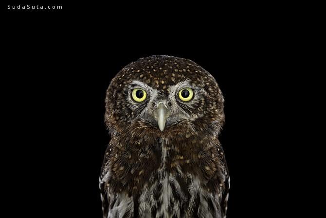 Brad Wilson 鸟类肖像摄影欣赏