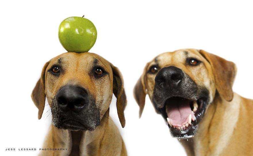 Kaya 偷吃的狗狗 宠物摄影欣赏
