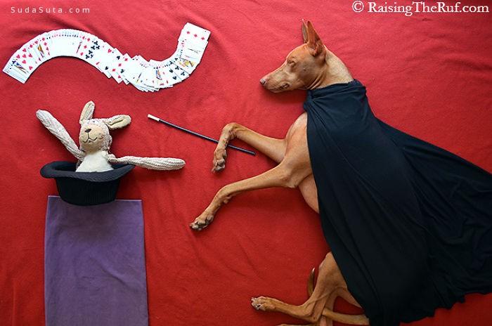 一只叫做Rufus的狗 创意宠物摄影欣赏