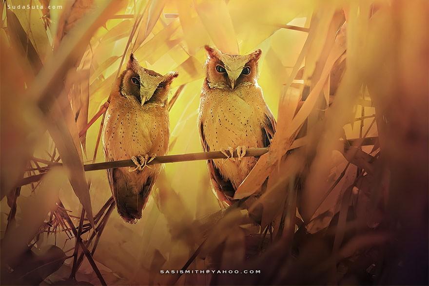 Sompob Sasi-Smit 猫头鹰很有爱
