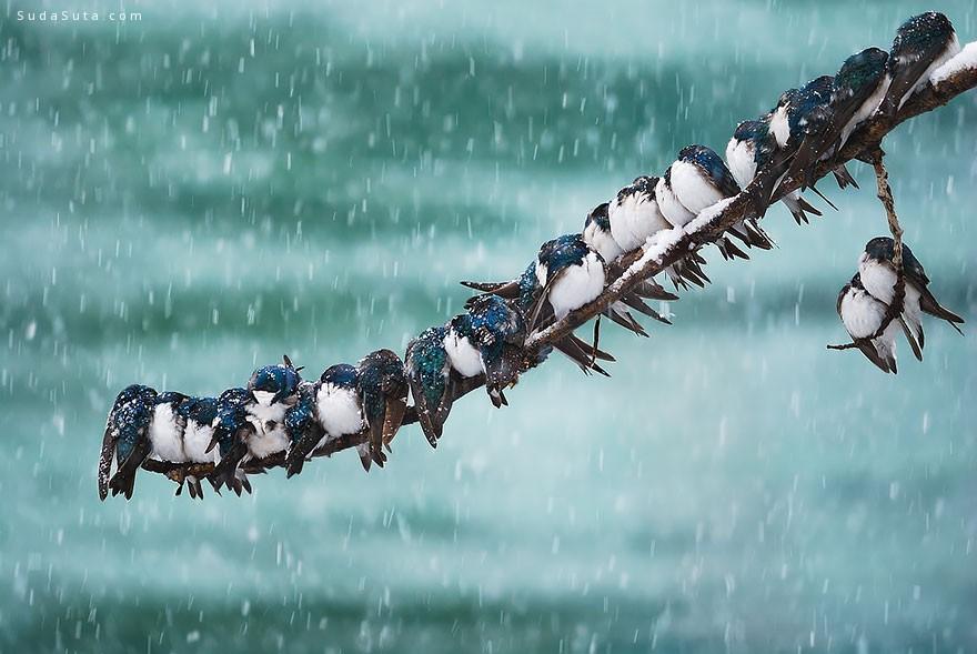 我们挤在一起取暖 鸟类摄影欣赏