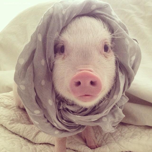 Hamlet 可爱的萌宠小猪