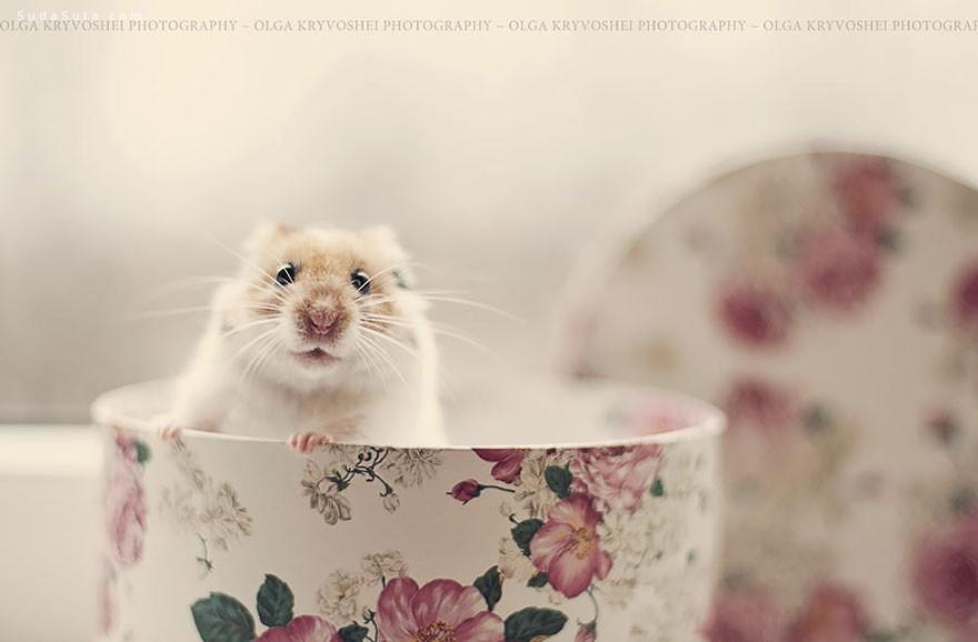 可爱的仓鼠宝宝 主题宠物摄影欣赏