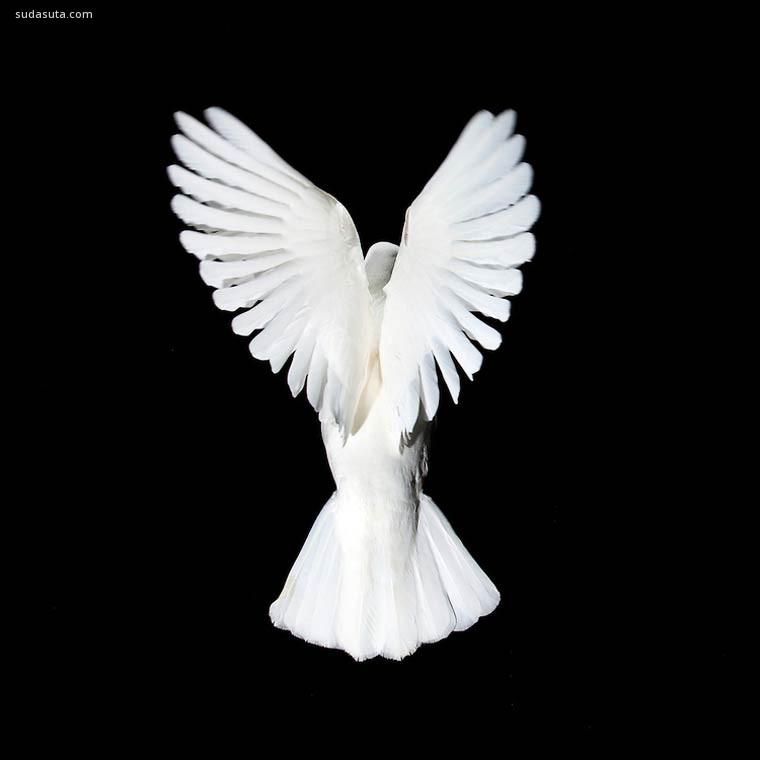 David Stephenson 美妙的鸽子 飞鸟主题摄影欣赏