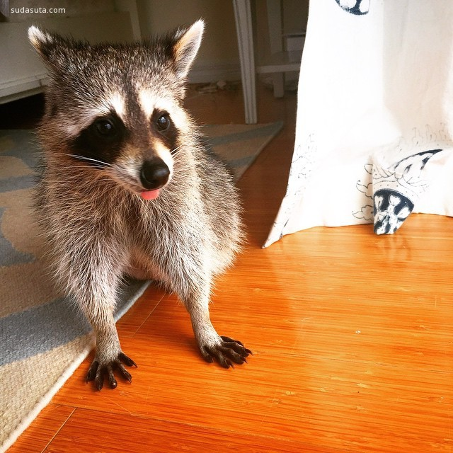 Pumpkin the Raccoon (3)