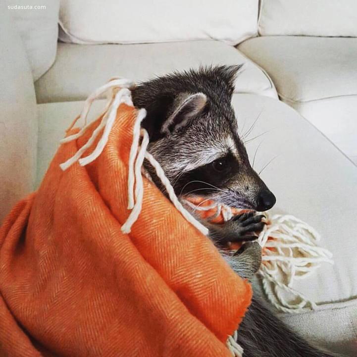 南瓜浣熊 宠物摄影欣赏